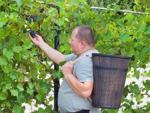 kos za brane na grozde i slivi plodove yabalki- plastmasov kos-torbi